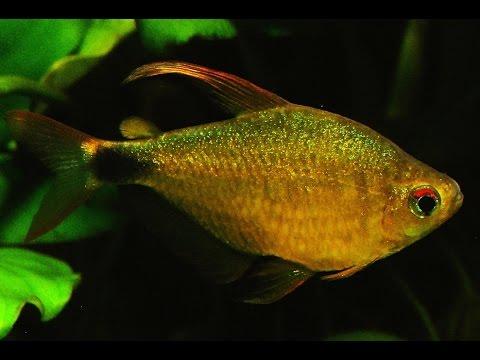 Hyphessobrycon Loweae - Breeding Once Imported Tetra ᴴᴰ