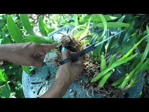 How To Propagate & Divide Orchids -  Aggregatum, Encyclia, Mitonia, Brassavolae, Cattleya