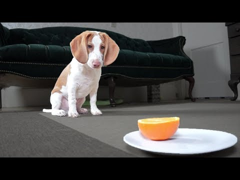 Cute Puppy vs. Orange: Cute Puppy Dogs Potpie & Maymo