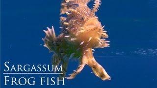 Sargassum frogfish swimming HD - Koh Tao Thailand