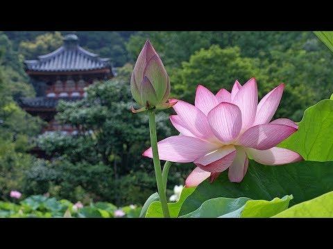 How to grow lotus seeds (kanwal)