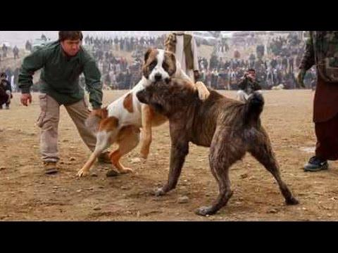 Alabai vs Afghan Kuchi Dog - Dog Videos [Mr Fenley]