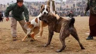 Alabai vs Afghan Kuchi Dog  Dog Videos [Mr Fenley]