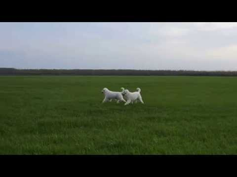 Pyrenean Mountain Dogs-Great Pyrenees-Rodentáli kennel
