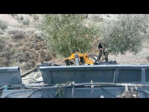 2017 Olives harvesting day in Jaén