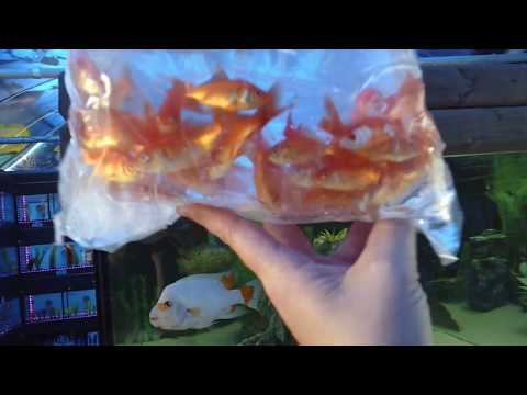 Fish Unboxing!! 200 goldfish, Red snakehead,Rainbow fish & more