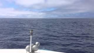 Whales & Tuna Feeding on the Ocean Surface
