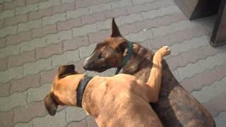 Bull Terrier Vs Boxer