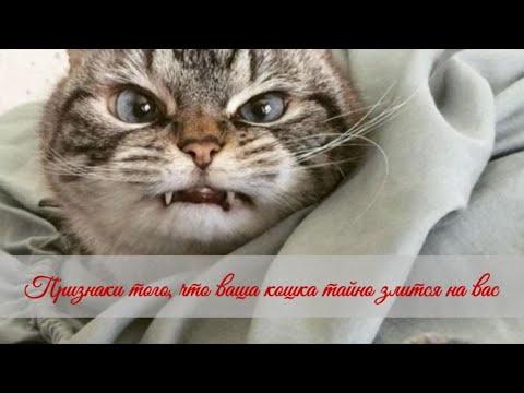 Признаки того, что ваша кошка тайно злится на вас Signs that your cat is secretly angry at you