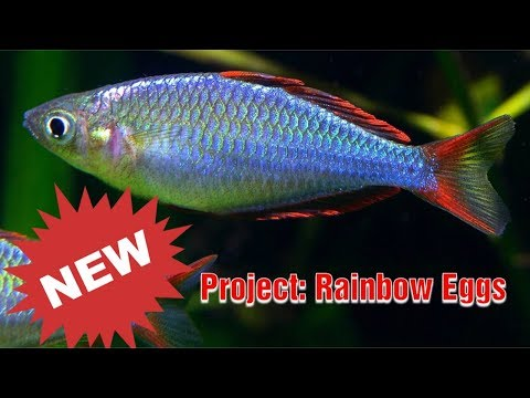 Breeding Dwarf Neon Rainbowfish For Ryan