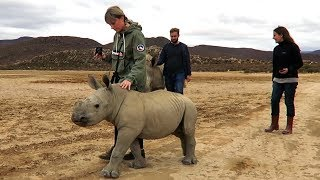 Cute Baby Rhinos Goes for a Walk
