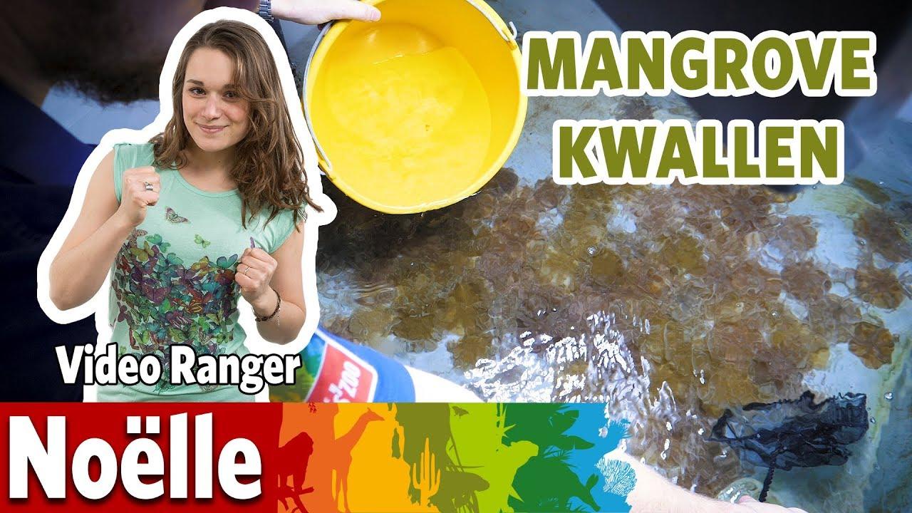Ik mag nieuwe kwallen uitzetten in de Mangrove!