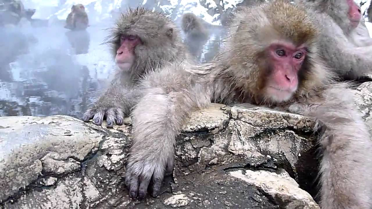 Banana Wallpaper Cute Japanese Macaques Relaxing In A Hot Spring Bath