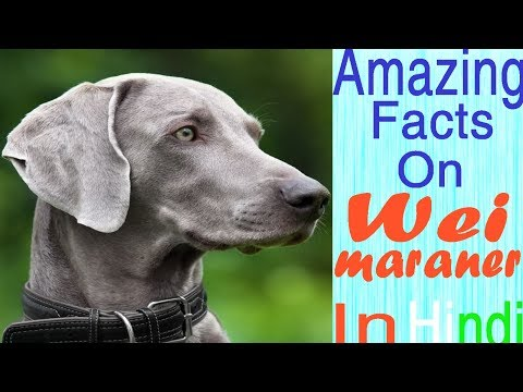 Amazing Facts on Weimaraner Dog | In Hindi | Dog Facts |Animal Channel Hindi