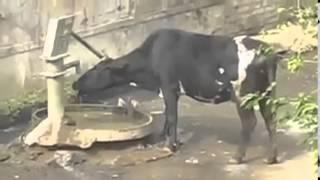 Сумасшедшие коровы  Смешное видео Клип