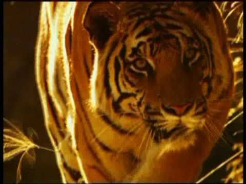 Living with Tigers