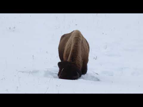 Big bison winter foraging