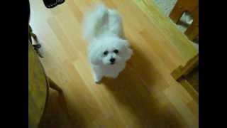 Bichon Frise Poodle Singing Dog