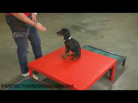 """Early Puppy Training W/""""Wish"""" 8 Wk Doberman Puppy In Development By Protection Dog Sale"""