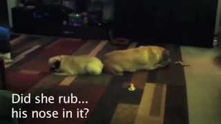Two Headed Pug Dog
