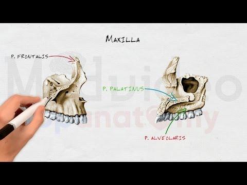 Череп #4: Верхняя челюсть