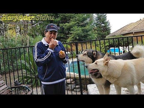 Sheru & Bruno Eating Oranges | Alaskan Malamute & German Shepherd | Dog Eating Oranges, Santra Fruit