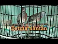 Suara Piyik Perkutut Bangkok Jantan Dan Betina Usia  Bulan  Mp3 - Mp4 Download