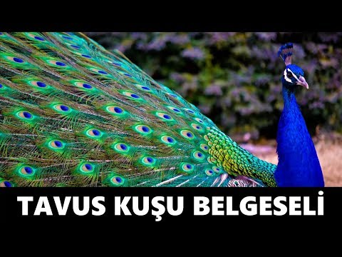 Tavus Kuşu Belgeseli