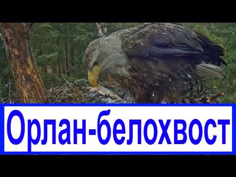 Орлан-белохвост Крупнейший хищник планеты / 2