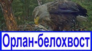 ОРЛАН БЕЛОХВОСТЫЙ / Крупнейший хищник планеты / Вебкамера в гнезде / 2(https://www.youtube.com/channel/UC_ncBKh3hiVrGJFz-KUfZwA Орлан-белохвост хищная птица из семейства ястребиных ОРЛАН БЕЛОХВОСТ Будни..., 2016-04-18T05:51:19.000Z)