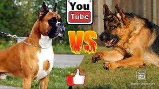 Немецкая овчарка против Немецкого боксера. Собаки. Батл собак.