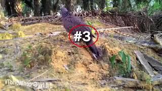 Hướng dẫn đặt bẫy chim cu gáy#1