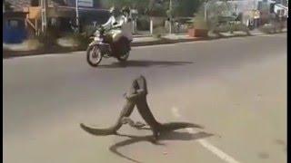 Битва варанов! Эпическая схватка варанов! Драка! Шокирующее видео! Невероятная техника борьбы!