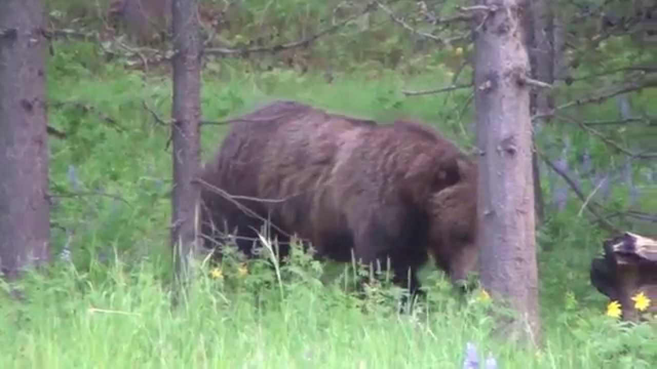 Huge Grizzly Bear 1 - YouTube