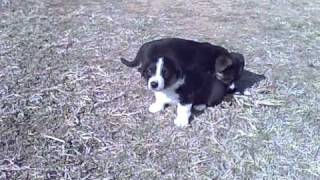 Cardigan Welsh Corgi Black And White With Tan Points Tia And Isabell