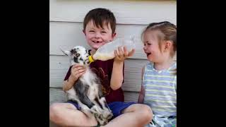 Baby Fight With Goat Kid || Funny Video Of Baby & And Goat Kid