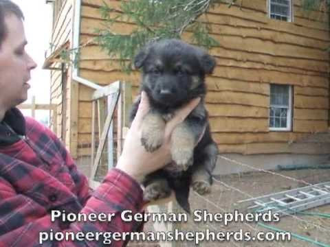 German Shepherd Pups - GSD puppies for sale - Ash x Sig 2009 - 5 weeks