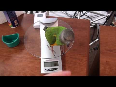 Kili Senegal Parrot - Flighted Potty Trained Parrot Going About Daily Business