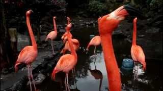 伊豆シャボテン公園・ベニイロフラミンゴが一斉に鳴き始める様子。 一羽...