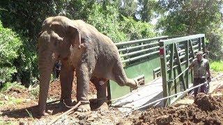 Wild elephant captured from Dambulla (Part 2) thumbnail
