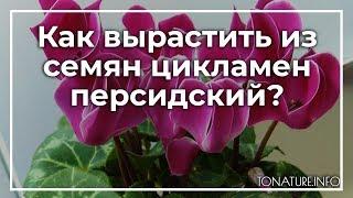 Как вырастить из семян цикламен персидский? | toNature.Info