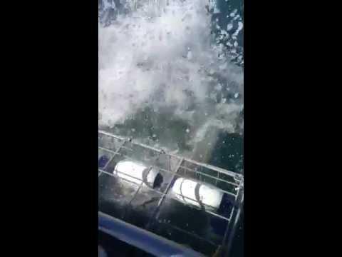 Great White Shark gets head into Shark Diving Cage!!! 03/21/2013 Gansbaai, SA