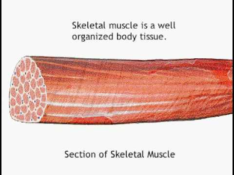 Gross Muscle Anatomy Youtube