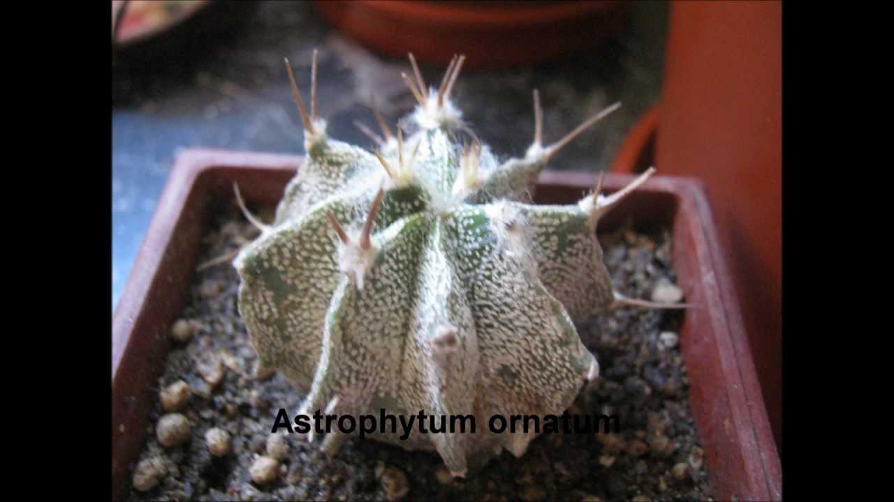 Cactus con algunos de sus nombres youtube for Nombres de cactus