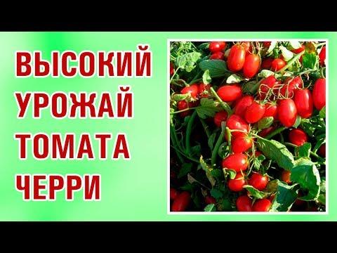 Высокий урожай помидора черри Брисколино F1