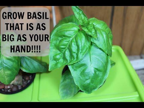 Homemade Hydroponics System | DWC Basil Grow Update #4