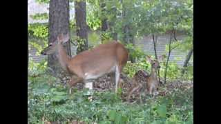 Doe Protecting Her Fawn - Hot Springs Village, Arkansas