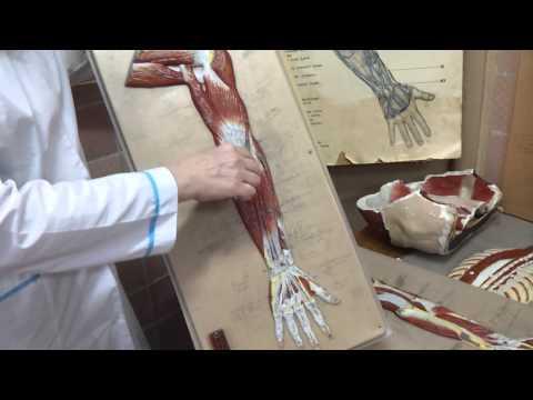 Послойное расположение мышц. Оси и плоскости тела | Урок 5, часть 2 | Уроки массажа