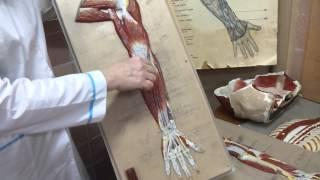 видео Анатомия мышц рук