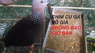 Download Video Con chim cu tôi không bao giờ bán  bất cứ giá nào MP3 3GP MP4